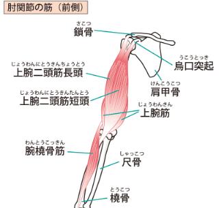 肘関節の筋(前側)
