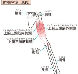 肘関節の筋(後側)